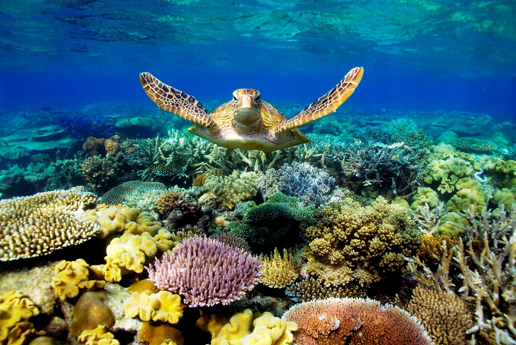 Beautiful scuba dive shot of the Loggerhead Turtle on Reef in Grand Cayman